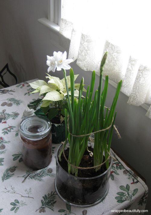 Winter white poinsettia paperwhites wb